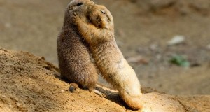 This pair of adorable prairie dogs appear to enjoy a slow dance and even seem to have a kiss and cuddle...The two animals shared a very human-like moment as they held each other's paws and appeared to kiss one another on the cheek...One of the prairie dogs even lovingly closed her eyes whilst enjoying a cuddle with the other animal...A separate shot captured five prairie dogs stood on top of a mound, staring inquisitvely into the horizon...The wonderful photographs were taken by Jan Pelcman while he was visiting Prague Zoo in Prague, Czech Republic... Jan Pelcman/Solent News & Photo Agency.UK +44 (0) 2380 458800.